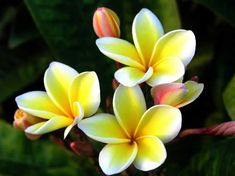Tropical Flowers Pictures and Names | and a variety of plumeria, the most fragrant of all the flowers