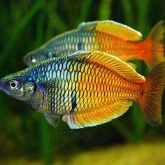 50 Best Tropical Fishes for Your Aquarium - The Pets Central Planted Aquarium, Tropical Fish Aquarium, Freshwater Aquarium Fish, Salt And Water, Fresh Water, Betta, Aquarium Pictures, Rainbow Fish, Wale