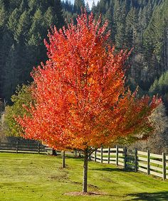 Loving this Live October Glory Maple Tree on #zulily! #zulilyfinds