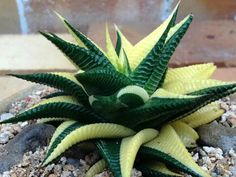 Haworthia limifolia variegate - this looks more like an animal than a plant, amazing! Loved by Jemini Flowers, Oxford - www,jemini.co.uk
