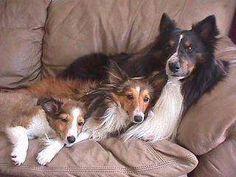 Google Image Result for http://www.dogbreedinfo.com/images6/Sheltie2My_Family.jpg