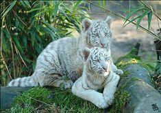 gif tiger images | Animal graphics » White tiger Animal graphics