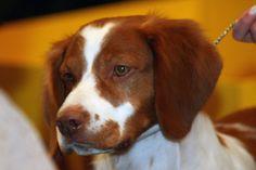Brittany dog - Wikipedia, the free encyclopedia