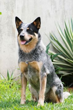 Wire Mounth heeler dog photo | Wombats ( Australian Animals Disc 5250EN Wonder Kid Meets the Evil ...