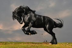 This finer details of this magnificent giant's muscular build are visible with the Black Stallion...
