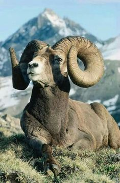 Big horn sheep<<<The Animal on my family crest Nature Animals, Animals And Pets, Funny Animals, Wild Life Animals, Cabras Animal, Beautiful Creatures, Animals Beautiful, Big Horn Sheep, Majestic Animals