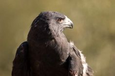 Zone-Tailed Hawk Big Bend for Birders