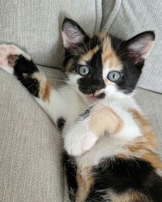 Kittens Versus Adult Cats: How To Choose Which Is Right For You - Katzenrassen Beautiful Cats Cute Baby Cats, Cute Cat Gif, Cute Cats And Kittens, Cute Little Animals, Cute Funny Animals, Adorable Kittens, Funny Cats, Kittens Cutest Baby, Lps Cats