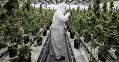 You could make $70000 right out of college with a degree in marijuana studies