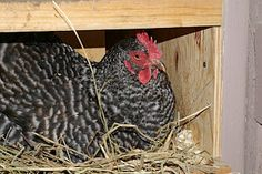 Why supplement your coop with artificial light in the winter.  Article: Cue the Sun (or a Compact Fluorescent Light Bulb), keeps them happy and laying.  -- Community Chickens