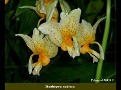 Stanhopea fowlieana