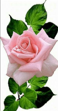 growing hybrid tea roses in containers Beautiful Flowers Wallpapers, Beautiful Rose Flowers, Exotic Flowers, Amazing Flowers, Pretty Flowers, Pink Flowers, Red Roses, Rose Reference, Rose Flower Wallpaper