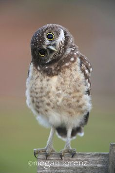 An poster sized print, approx mm) (other products available) - Burrowing Owl Owlet tilting it& head and looking directly at camera. - Image supplied by Fine Art Storehouse - poster sized print mm) made in the UK Baby Owls, Cute Baby Animals, Funny Animals, Funny Birds, Wild Animals, Beautiful Birds, Animals Beautiful, Burrowing Owl, Mundo Animal