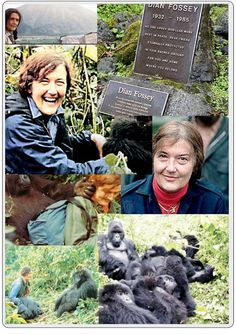 """Neither destiny nor fate took me to Africa. Not even romance. I had a deep wish to see and live with wild animals in a world that hadn't yet been completely changed by humans."" – said Dian Fossey, who fought passionately for almost two decades to save the mountain gorillas from extinction in the Virunga-Mountains, East-Africa. # Remarkable woman. RIP: 27th December, 1985."