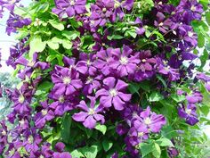 Gärtnerei Naturwuchs -- Schnittgruppe 3 -- Clematis viticella 'Etoile Violett' -- Schnittgruppe 3
