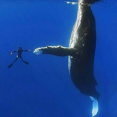 Diver appears to shake hands with a giant 52ft whale. High low...too slow!  Photo Credit :  Masa Ushioda Via @AnmlsWorld