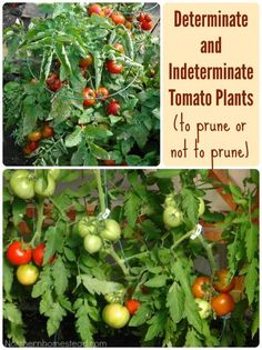 to prune or not to prune tomato plants, gardening