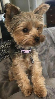 Yorkies, Shorkie Puppies, Yorkie Puppy, Cute Baby Dogs, Cute Dogs And Puppies, Cute Baby Animals, Yorky Terrier, Yorshire Terrier, Yorkshire Terrier Puppies