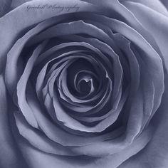 Roses Are Grey / Washington, DC, USA / August 2014 https://www.facebook.com/goodallphoto #rose, #grey rose, #flower, #grey flower, #rose heart, #grey, #love, #kiss, #flora, #floral, #nature, #garden, #flowering plant, #grey flowering plant, #macro, #macro rose, #dream, #dreamy, #dreamy rose, #monochrome
