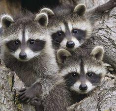 Et puis trois ratons laveurs ...