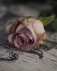 Ideas Wall Paper Vintage Floral Ana Rosa For 2019 Beautiful Rose Flowers, Beautiful Flowers Wallpapers, Love Rose, Vintage Flowers, Vintage Floral, Photo Rose, Book Flowers, Rose Cottage, Paper Roses