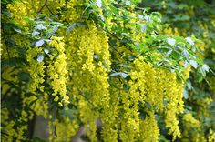 Golden Chain (Laburnum Anagyroides) is a majestic tree, with cascades of sunny yellow flowers. It has a long-held reputation as poison in English lore, particularly since its seeds look very similar to peas. They contain both Lupinine and dangerous enzyme inhibitors, and as few as 20 laburnum beans can kill a child.