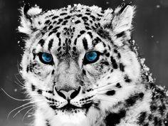 Snow leopard I'm a  animal speaker