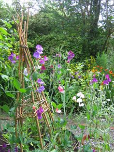 Sweet peas on homemade willow wigwams bringing pollinators to my patch..from growveg.com