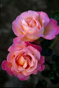 peace rose -