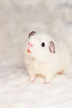 a baby guinea pig!