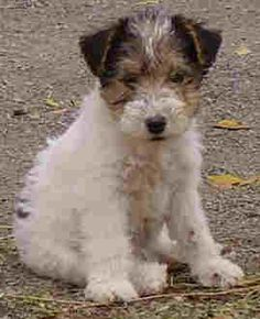 Love Wire Fox Terriers!  My Ferris is now 13 years old and still playful!