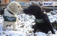 Too cute Guide Dogs for the Blind