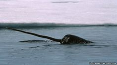 Narwhal's tusk is super sensitive #MarineLife #Whale #Narwhal