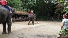 Chiang Mai Elephant, Elephant Camp, Goal, Animals, Animales, Animaux, Animal, Animais