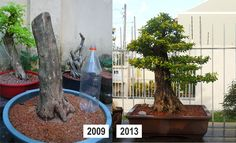 Duranta_grande_Ricardo_Paiva_before-after_2 Bonsai Pruning, Bonsai Plants, Bonsai Garden, Bonsai Tree Care, Bonsai Tree Types, Pre Bonsai, Mini Bonsai, Plantas Bonsai, Bonsai Making