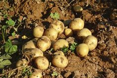 Freshly harvested potatoes on garden soil next to the vine.