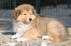 La galerie photos de chiens Colley de l'élevage du clos de Marialan