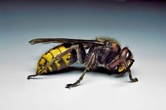 Vespa crabro, the European Hornet, plays an important role in wine making as an early yeast bringer.