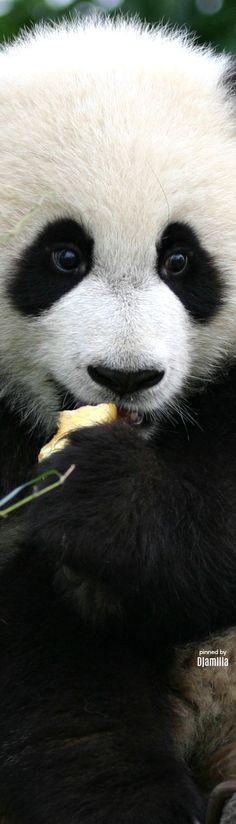 Giant Panda Cub Animals And Pets, Baby Animals, Cute Animals, Beautiful Creatures, Animals Beautiful, Mon Zoo, Panda Bebe, Wale, Elephant Love
