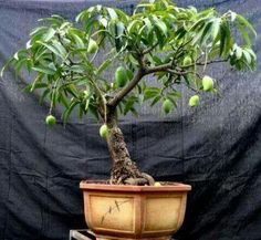 60 My Favorite Beautiful list of Trees for Bonsai [pics] A bonsai tree can add such beautiful to your backyard decoration and home decor. There are many but I've selected 60 best trees for bonsai. Bonsai Fruit Tree, Mini Bonsai, Bonsai Plants, Bonsai Garden, Garden Trees, Fruit Trees, Garden Plants, Indoor Plants, Bonsai Wire