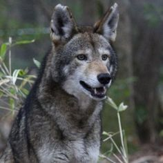Last call to help the Red Wolf Coalition with a donation to the CrowdRise Holiday Challenge. Please help if you can! https://www.crowdrise.com/o/en/team/red-wolf-coalition