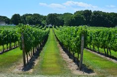 Peconic Bay Winery in Cutchogue, NY on Long Island, NoFo Music Festival, July, 2011
