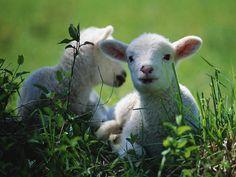 sheepy mays