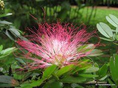 peru scenery wildflowers | ... Peruvian Amazon - Tapir, White Caiman , and Pink Powderpuff in Peru