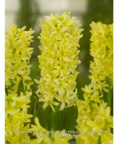 Hyacinth City of Haarlem is a popular yellow hyacinth. The yellow color of the hyacinth has a warm tone. Brighten up your garden with City of Haarlem. Planting Bulbs, Planting Flowers, White Hyacinth, Spring Flowering Bulbs, 10 Picture, Hollyhock, Chrysanthemum, Spring Flowers, Hydrangea