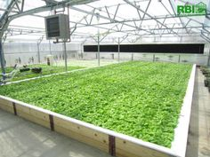Rough Brothers offer a variety of commercial greenhouses to protect your crop from the harsh elements of early spring while allowing your fruits to grow when the weather is ideal. Hydroponic Lettuce, Hydroponic Vegetables, Hydroponic Farming, Aquaponics Greenhouse, Aquaponics Fish, Fish Farming, Greenhouse Plans, Hydroponics System, Greenhouse Construction