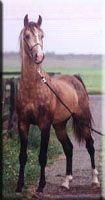 Buckskin American Saddlebred