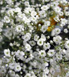 gypsophila   Gipskruid Paniculata - Online Vaste planten bestellen