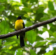 Black-throated Shrike-Tanager - Google Search