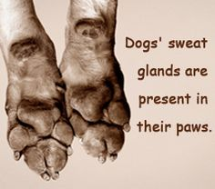 Fact about dogs' sweat glands